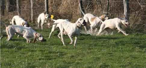 HuntBoarHounds