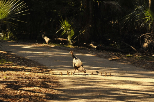 Wild_turkeys_hen_chicks_road_rural_outdoors_birds_cumberland_island_national_seashore-535151