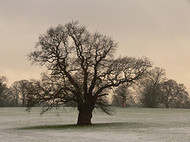 Oak_tree_by_shashamane_flickr